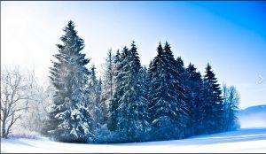 Tanne-Schnee_1