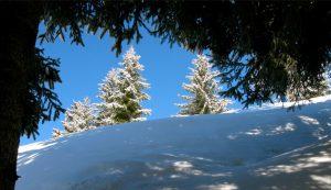 Tanne-Schnee_3