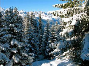Tanne-Schnee_5